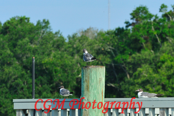 hilton_head_wildlife021
