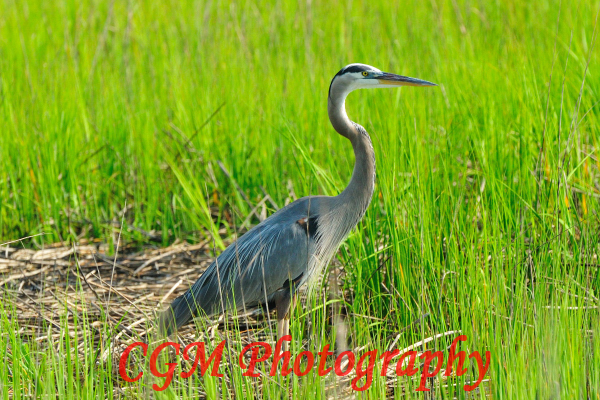 hilton_head_wildlife041