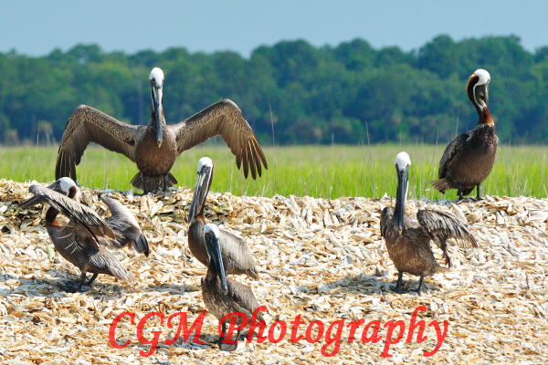 hilton_head_wildlife061