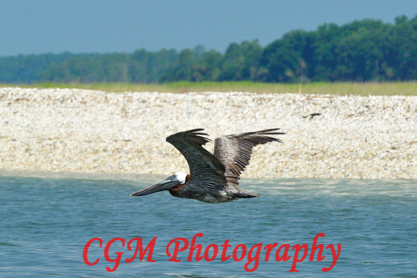 hilton_head_wildlife071