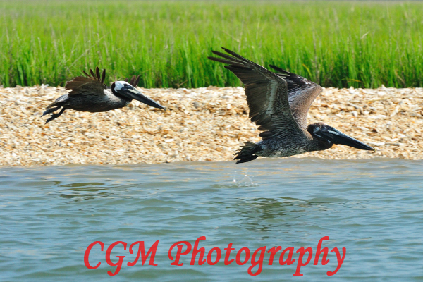 hilton_head_wildlife091